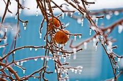 Äpplen, i att frysa regn - 02 Arkivbilder