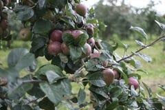 Äpplen i en fruktträdgård royaltyfri bild