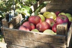 Äpplen i en gammal träspjällåda på träd Fotografering för Bildbyråer