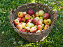 Äpplen i en korg fotografering för bildbyråer