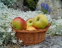 Äpplen i en korg Arkivfoto
