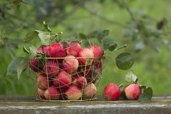Äpplen i en korg Royaltyfri Bild