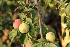 Äpplen i en trädgård Arkivfoton