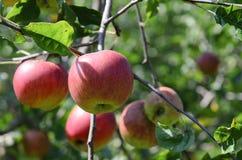 Äpplen i en tree Arkivfoton