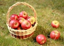 Äpplen i en vide- korg i ett gräs, i en aftonsun arkivbild