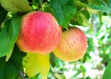Äpplen i fruktträdgård Royaltyfri Bild