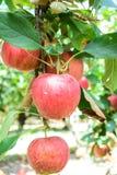 Äpplen i fruktträdgård Arkivfoton