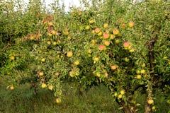 Äpplen i fruktträdgård Royaltyfria Foton