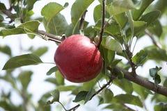 Äpplen i fruktträdgård Royaltyfri Fotografi