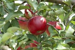 Äpplen i fruktträdgård Fotografering för Bildbyråer