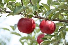 Äpplen i fruktträdgård Arkivbild