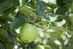 Äpplen i fruktträdgård Royaltyfri Foto