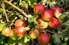 Äpplen i fruktträdgården. Royaltyfria Foton