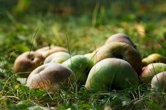 Äpplen i gräset Royaltyfri Fotografi