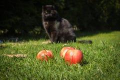 Äpplen i grässlätt med en svart katt i bakgrund Royaltyfria Foton