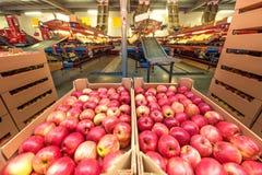 Äpplen i kartonger på en fruktfabrik med emballageequipm Royaltyfria Foton