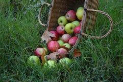 Äpplen i korg Arkivfoto