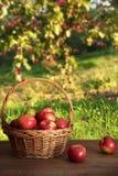 Äpplen i korg på tabellen i fruktträdgård Arkivbilder