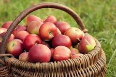 Äpplen i korgen Arkivbild