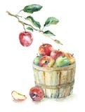 Äpplen i korgen och på filialen Royaltyfri Bild