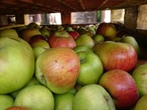 Äpplen i lagring Royaltyfri Foto