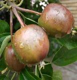 Äpplen i morgonen Efter långt regn royaltyfri bild