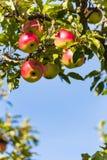 Äpplen i nedgången på ett äppleträd Royaltyfria Bilder