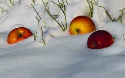 Äpplen i snön royaltyfria foton