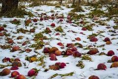 Äpplen i snön Arkivfoto