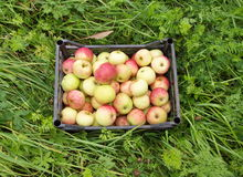 Äpplen i spjällåda på gräs Arkivbilder