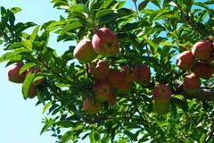 Äpplen i sunen Arkivfoto