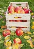Äpplen i träask i den höstliga trädgården arkivbild