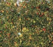 Äpplen i träd arkivfoto