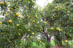 Äpplen i trädgården, äppleträd fotografering för bildbyråer