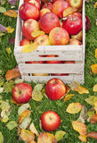 Äpplen i trädgården arkivfoton