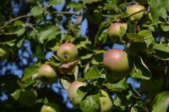 Äpplen i trädgården Arkivbild