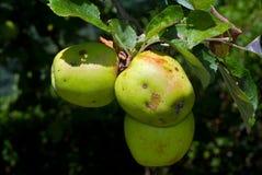 Äpplen i Tree Royaltyfri Bild