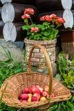 Äpplen i vide- korg och rosa pelargon Royaltyfria Foton