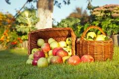 Äpplen i vide- korgar Arkivbilder