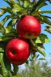 äpplen läckra röda blanka två Royaltyfria Bilder
