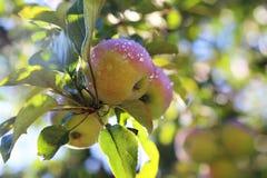 Äpplen med vattendroppar i träd Arkivfoto