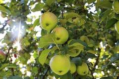 Äpplen med vattendroppar i träd Royaltyfria Bilder