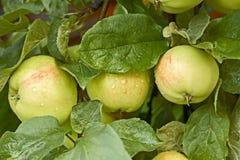 Äpplen med vattendroppar på trädet Arkivfoton