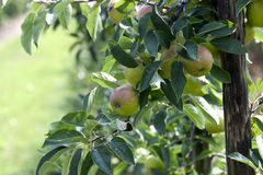äpplen mer Arkivfoton