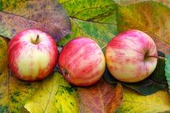 Äpplen och färgrika höstsidor Arkivfoto