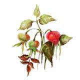 äpplen och sidor på en vit bakgrund royaltyfri illustrationer
