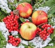Äpplen och viburnum i snön Röda äpplen och Viburnum i snö- och grässlutet upp första snow Höst och snö Vinter arkivbild
