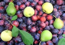 Äpplen, päron och mycket mogna plommoner. Royaltyfria Bilder