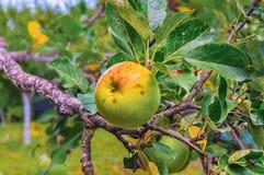 Äpplen på äppleträdfilial Arkivbilder