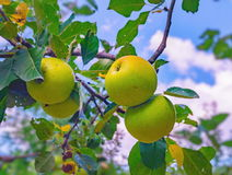 Äpplen på äppleträdfilial Royaltyfri Fotografi